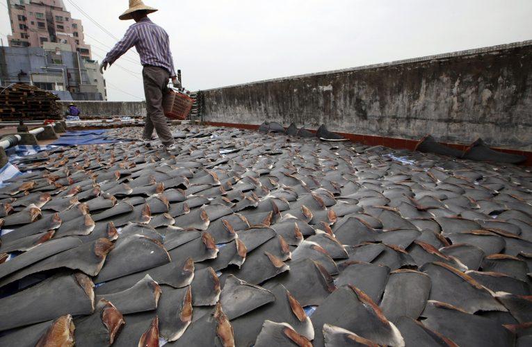 [新聞] 加拿大全球第二愛吃魚翅! 政府覺醒:要保護鯊魚「不准再進口」